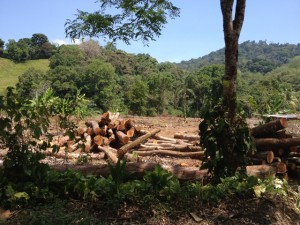 Trees cut down by poor family to plant palm oil in 2014.
