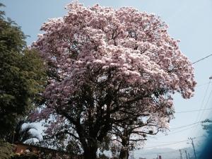 "Tabebuia Roseada. ""Ipe Tree"" Pau de Arco"