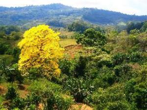 corteza amarilla bloom Tabebueia Amarailla